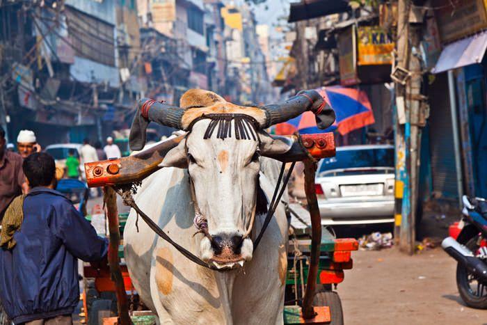 Buey. Viajar a la India